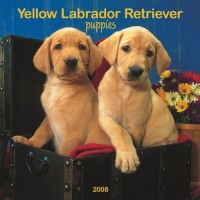 Labrador Retriever, Yellow Puppies 2008 Square Wall